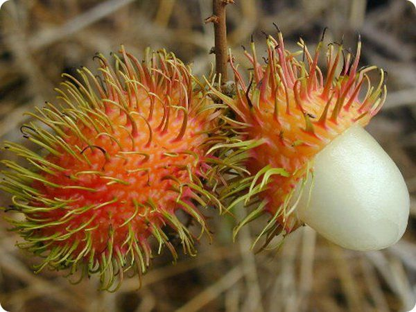 Rambutan Καρποί Φρούτων
