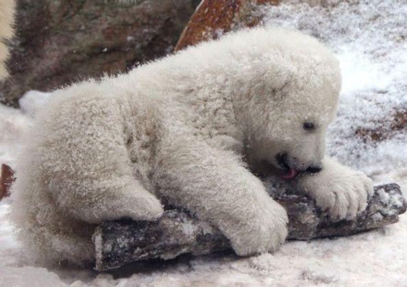 Λευκή αρκούδα σε ζωολογικό κήπο της