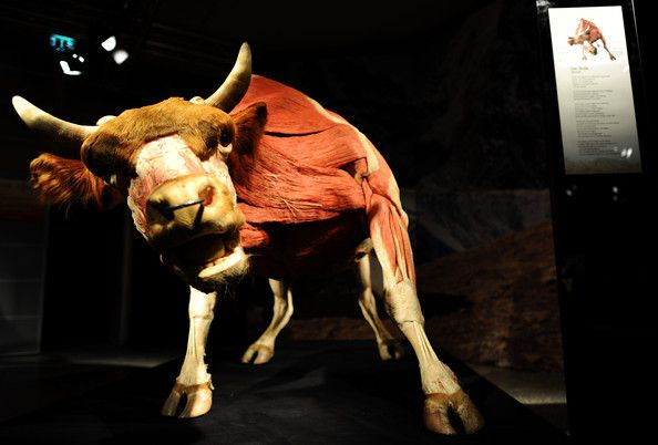 Gunther von Hagens exhibition in Cologne