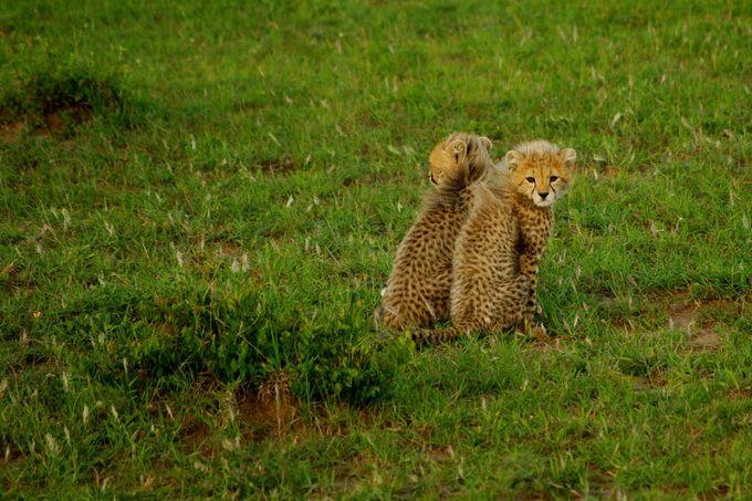 Τα τσιτάχ στην άγρια φύση