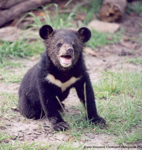 Asiatic Black Bear-03