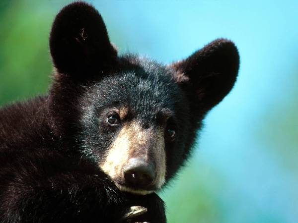 Black Bear-03