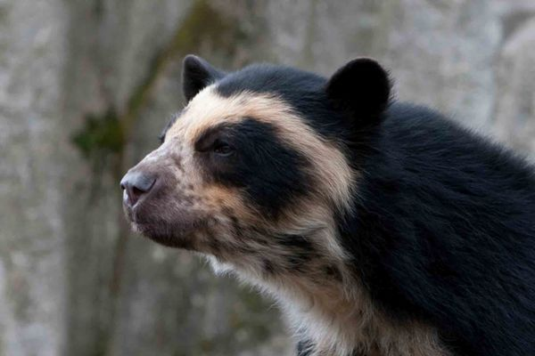 Spectacled Bear-01