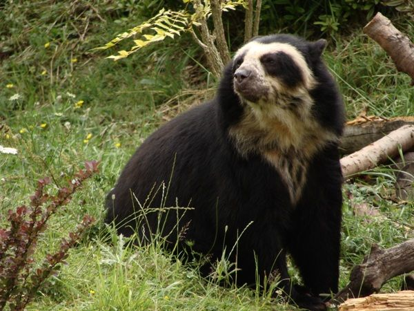Spectacled Bear-02