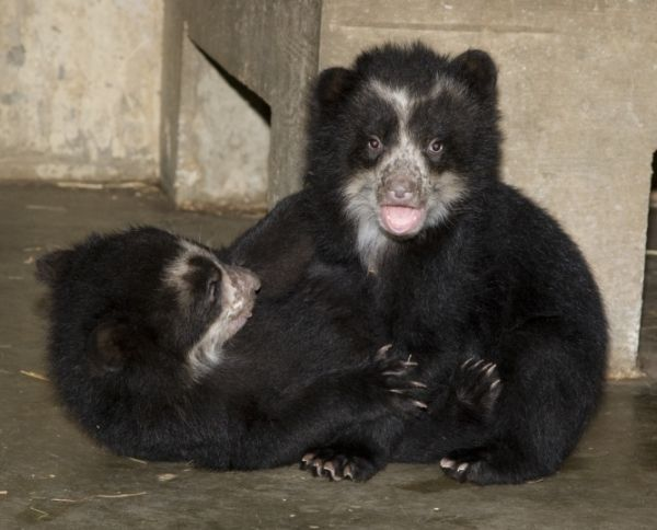 Spectacled Bear-03