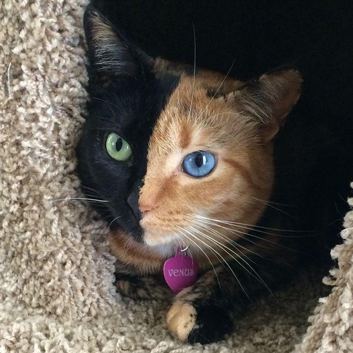 Γάτα-Χίμαιρα Με Πανέμορφο Δίχρωμο Πρόσωπο
