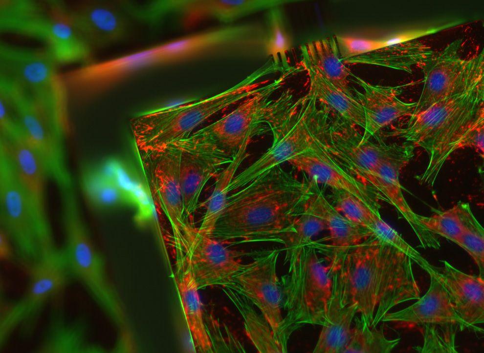 Κύτταρα Ποντικιών