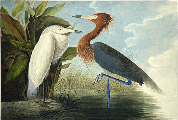Πουλιά της Αμερικής