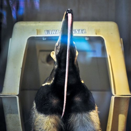 Γιγαντιαία anteater