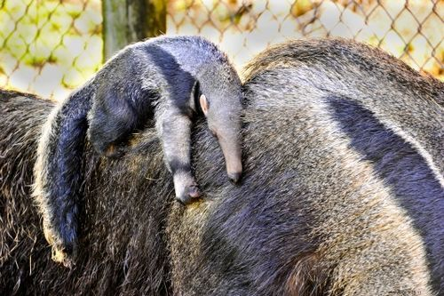 Cub giant anteater