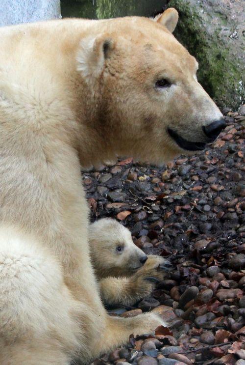 Polar Pear Cub