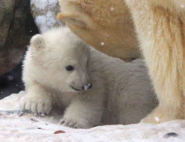 Λευκή Αρκούδα