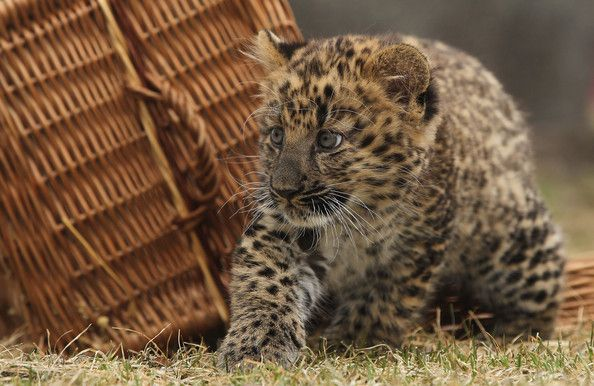 Μικρή Λεοπάρδαλη