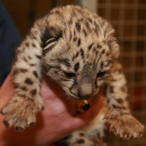 Μωρό λευκής λεοπάρδαλης