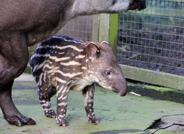 A newborn baby tapir