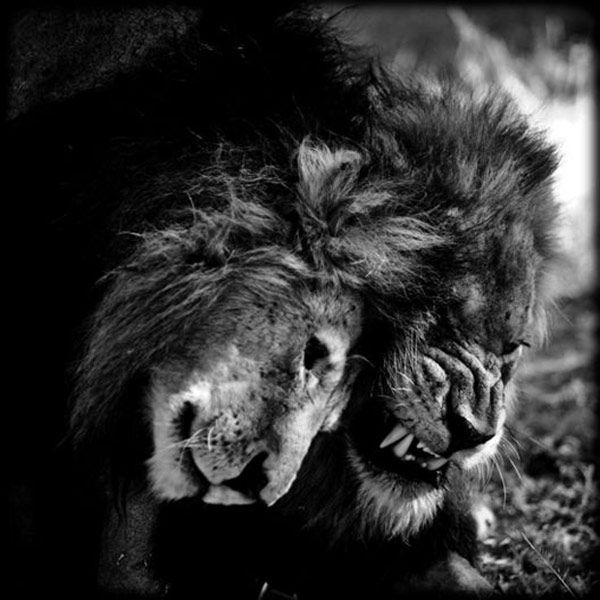 Photographer animalist Laurent Baheux