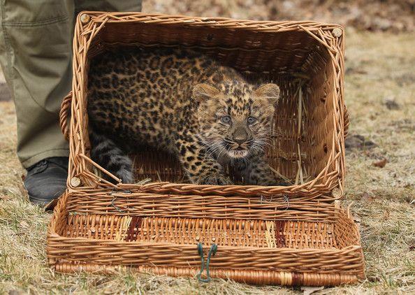 Small Leopard