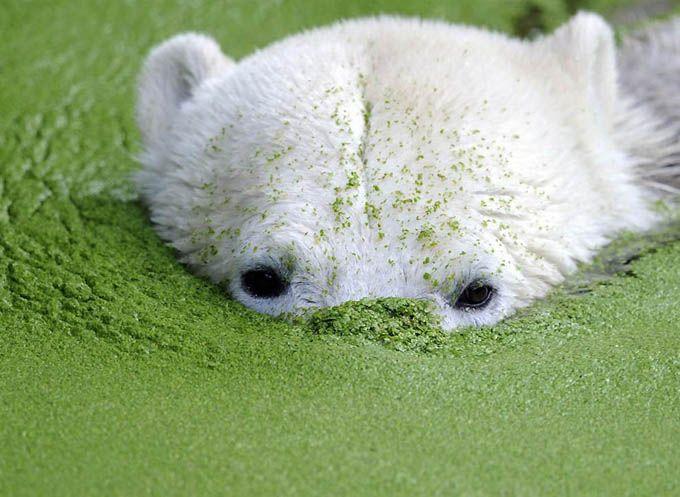 Στο ζωολογικό κήπο του Βερολίνου πέθανε η λευκή αρκούδα Knut