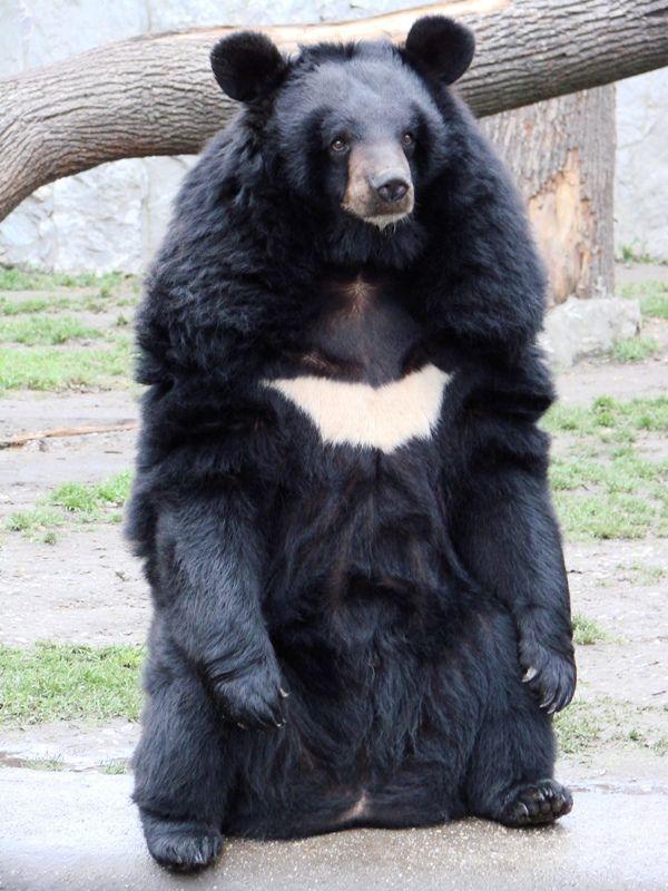 Asiatic Black Bear-01