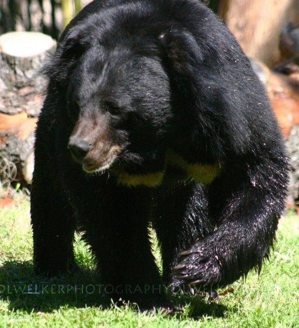 Asiatic Black Bear-02
