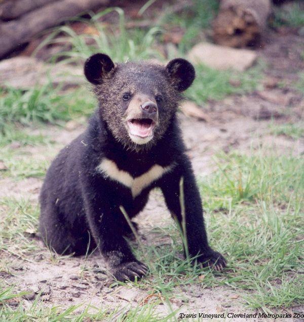 Asiatic Black Bear-03