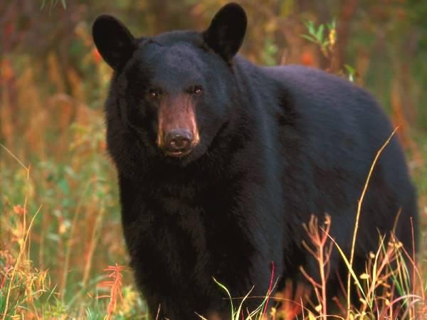 Black Bear-01