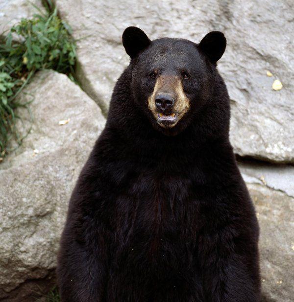 Black Bear-02