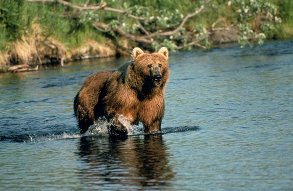 Brown Bear-01