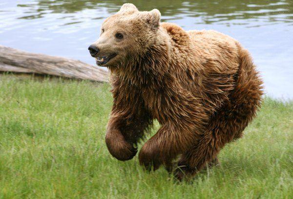 Brown Bear-02