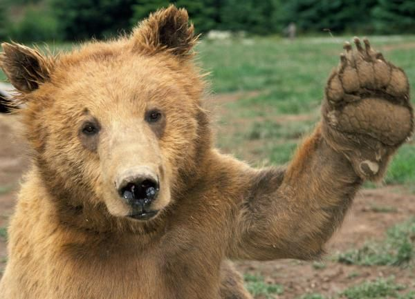 Brown Bear-03