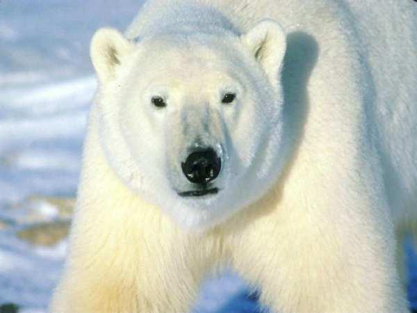 Polar Bear-01
