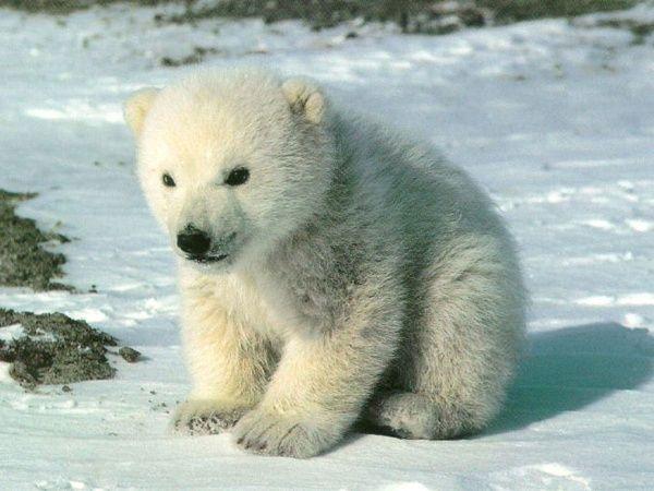 Polar Bear-03