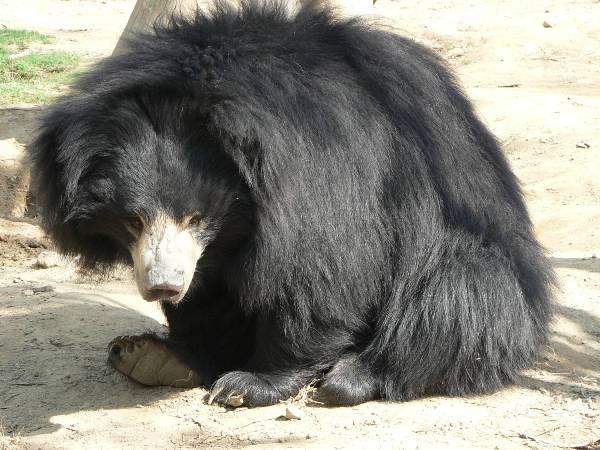 Sloth Bear-01