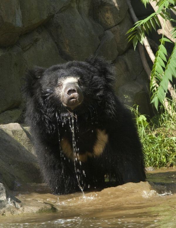 Sloth Bear-02
