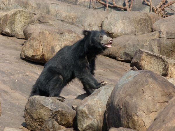 Sloth Bear-03