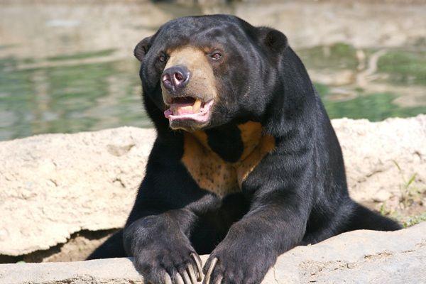 Sun Bear-02