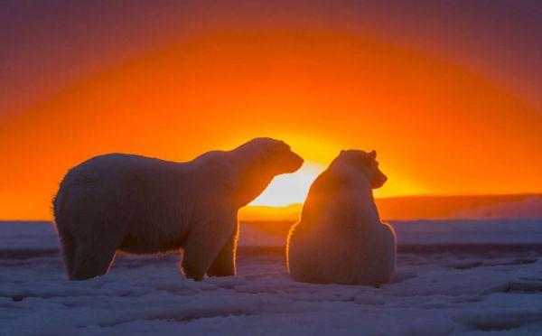 Πολικές Αρκούδες Απολαμβάνουν το Ηλιοβασίλεμα
