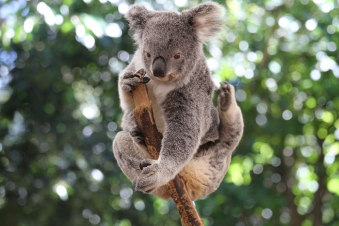 Απίστευτα Αστείες και Χαριτωμένες Φωτογραφίες των Κοάλα