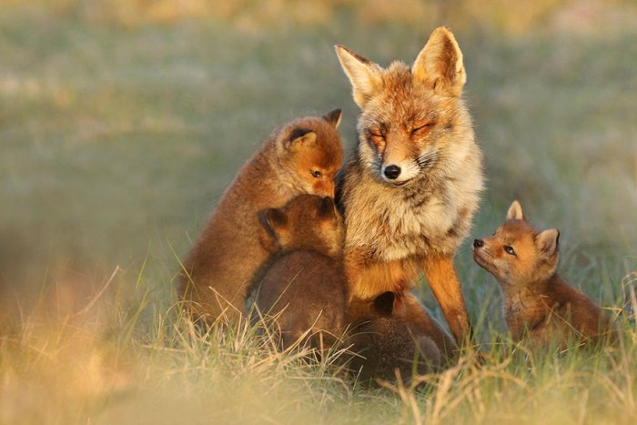 Σπάνια Στιγμιότυπα Της Άγριας Αλεπούς Από Την Joke Hulst